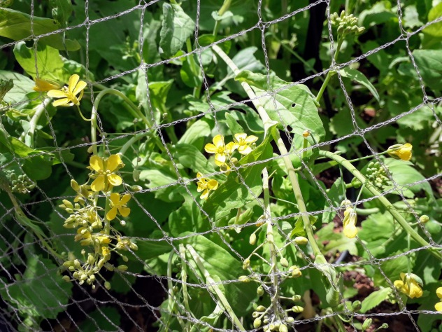 The last of the Asian winter greens- I haven't removed these yet because the bees just love the flowers