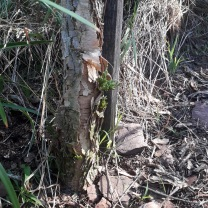 Our young Paperbark Thorn... we thought we had lost it in this winter's frost, but there is some new growth at the base
